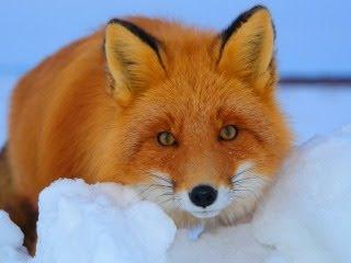 Crvena lisica na snijegu slike besplatne pozadine za mobitele download