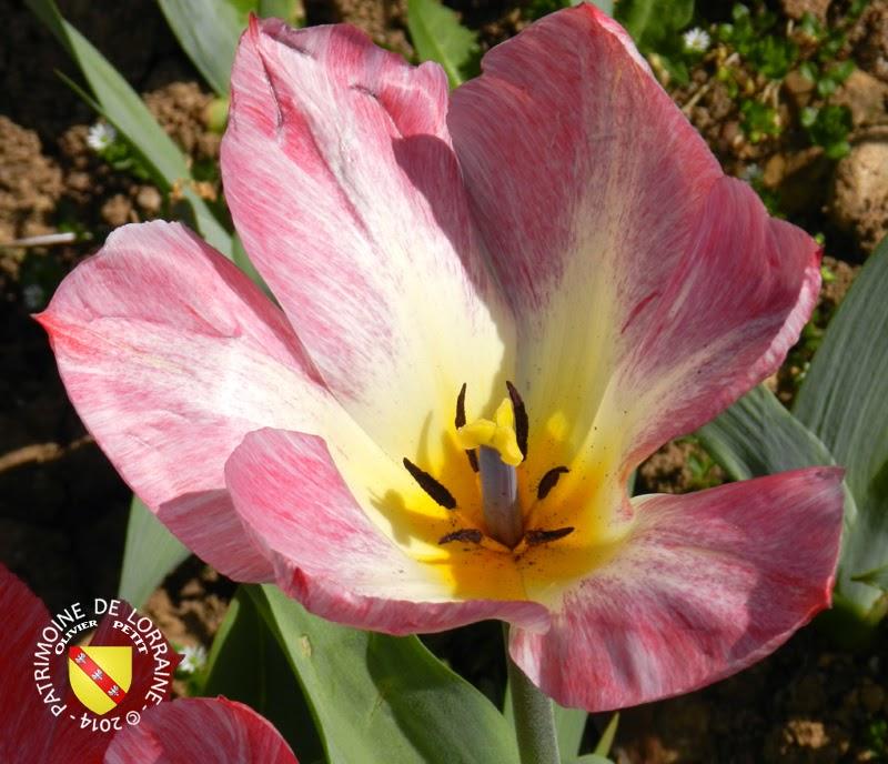 VILLERS-LES-NANCY (54) - Les tulipes du Jardin botanique du Montet