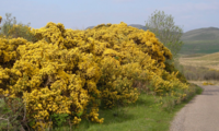 Ohn the Gorse shrub
