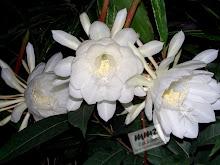 Bunga Wijayakusuma, mekar ditengah malam, harum ...