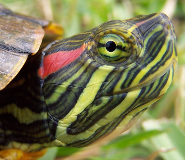 Care Of Turtles : How to Care The Red Eared Slider Turtle - Home Pet Care