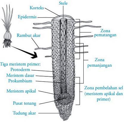 Pengertian Pertumbuhan Primer dan Pertumbuhan Sekunder pada Tumbuhan serta Penjelasannya