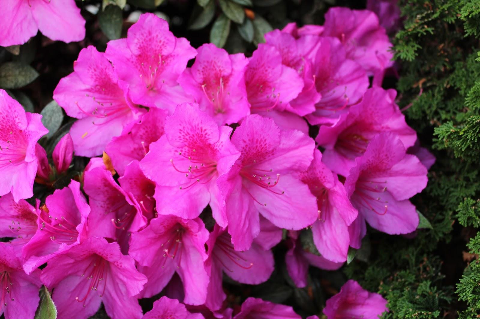 Florez nursery azalea indica 39 magnifica 39 for The azalea