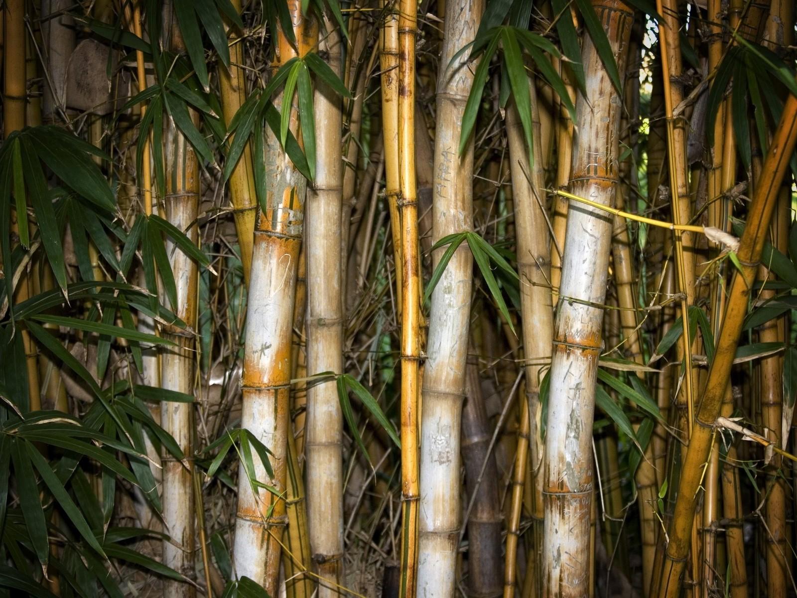 http://3.bp.blogspot.com/-Yz5rbK1gbH0/Tq0bfV1iQ5I/AAAAAAAABec/pDhI0UYCqBY/s1600/bamboo_forest_wallpaper2011.jpg