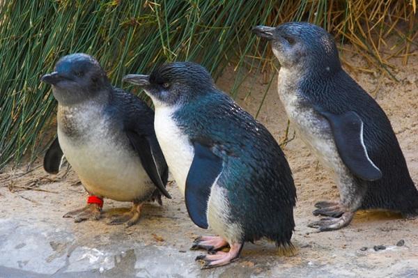5 Fakta Unik Penguin Yang Mungkin Belum Anda Ketahui