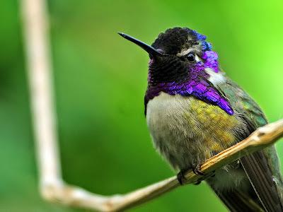 Hummingbird Desktop Background