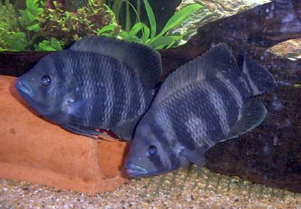 Akvaryum tilapia balığı hakkında bilgi