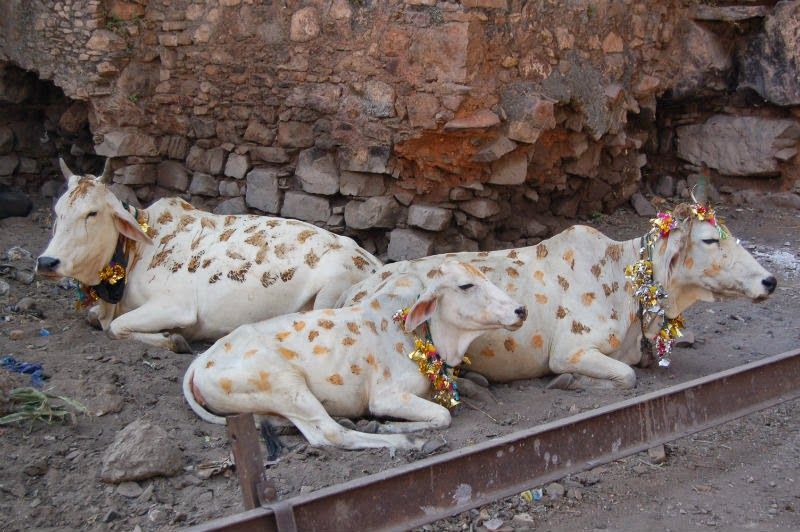 vaca decoradas para festival Hindu