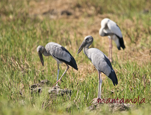 Asian Openbill Stork (Anastomus oscitans)