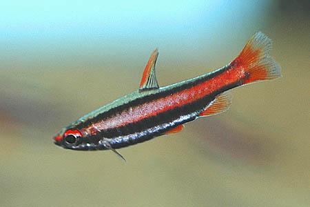 Pencil Fish ~ Aquatic Animals