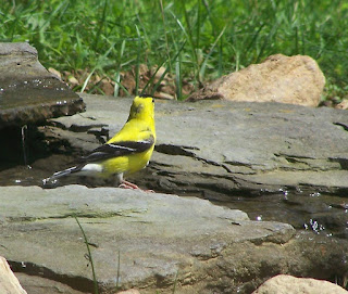 American Goldfinch (Spinus tristis) Back After Absence
