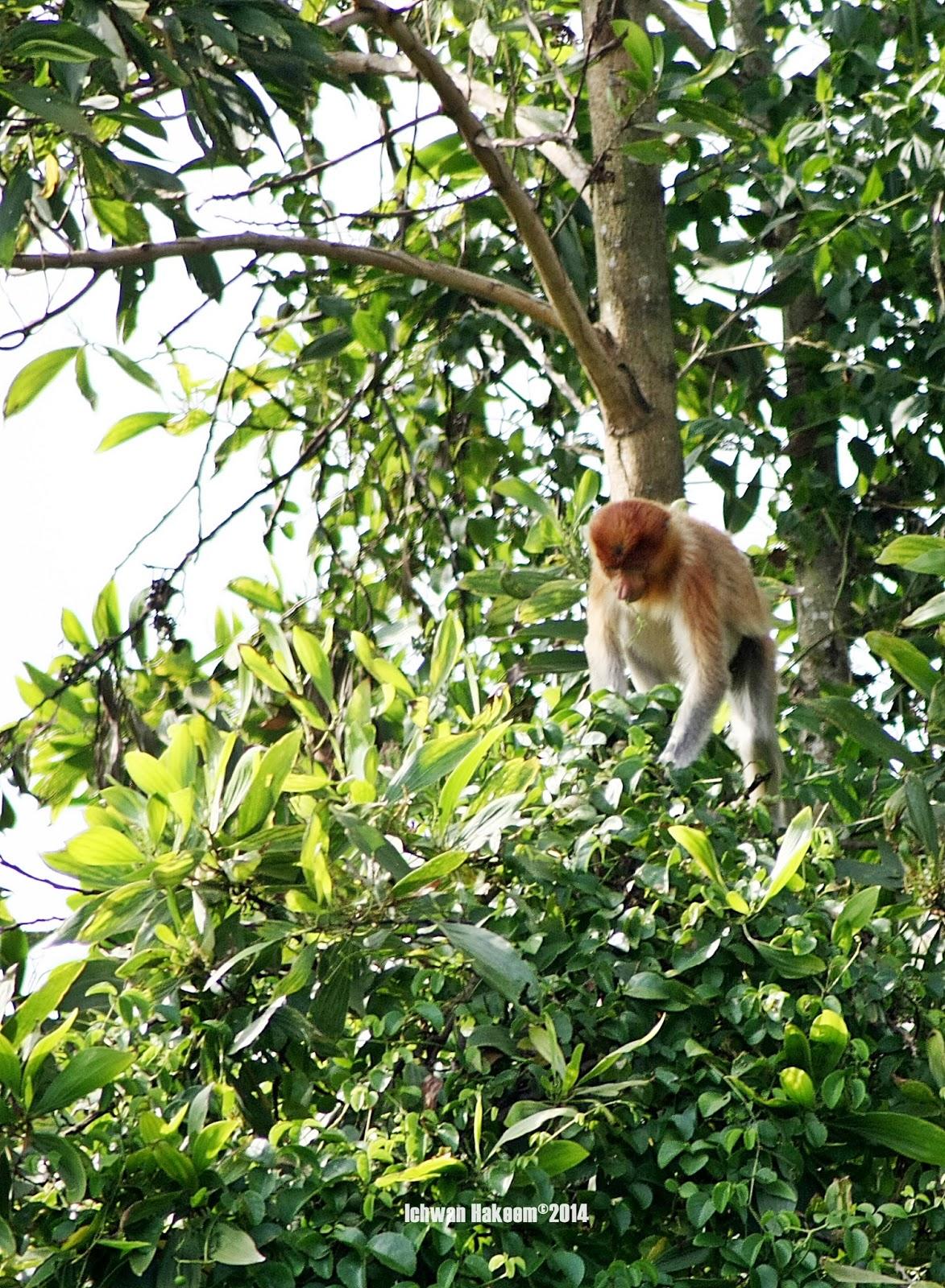 bekantan, proboscis monkey, south kalimantan, indonesia, wild indonesia
