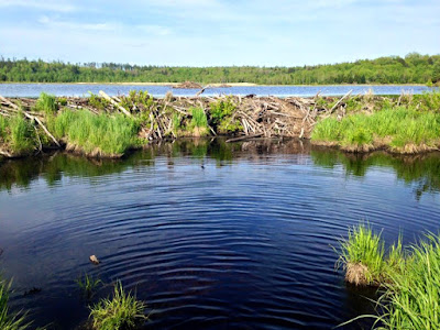 beaver dam at Washington Mountain Marsh