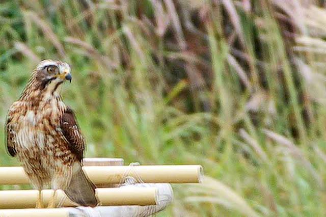 raptor, Grey-faced Buzzard Eagle, perched