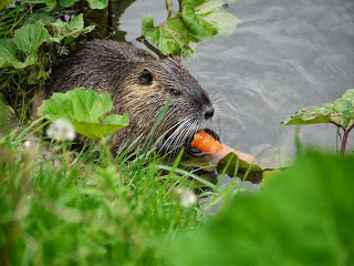 Nutria am Walzbach in Weingarten