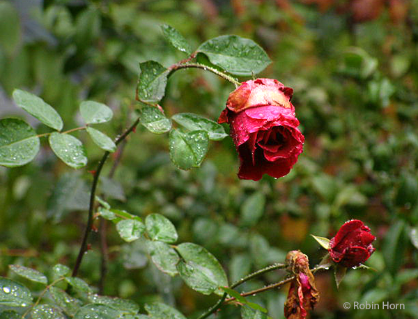 Faded But Beautiful Red Rose in Garden