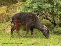 anoa gunung (Bubalus quarlesi)