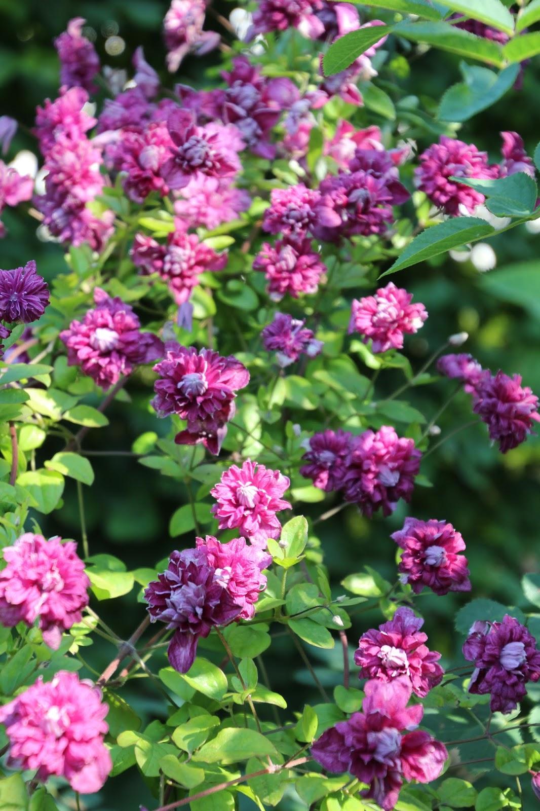 klematis clematis viticella purpurea plena elegans trädgårdsblogg