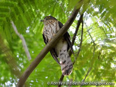 Hodgson's Hawk Cuckoo (Cuculus nisicolor)