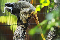 Emperor Tamarin Photos and Pictures 21