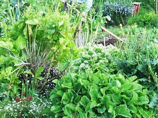 Siberian purslane growing under perennial brassicas