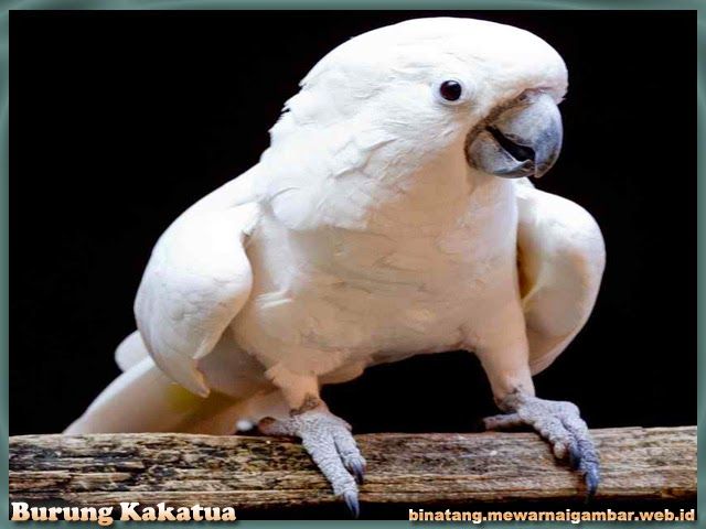 gambar binatang burung kakatua