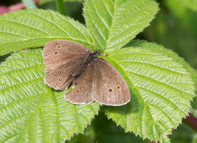 Ringlet butterfly, Aphantopus hyperantus.  Butterfly walk in Jubilee Country Park, Sunday 17th July 2011.