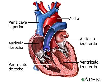 anatomia del cuerpo: sistema cardio-respiratorio