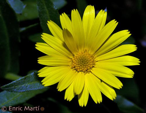 Fotos De Flores Calendulas - imagenes de flores de calendula MyMadrid
