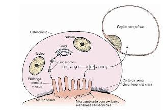 Funciones del tejido oseo yahoo
