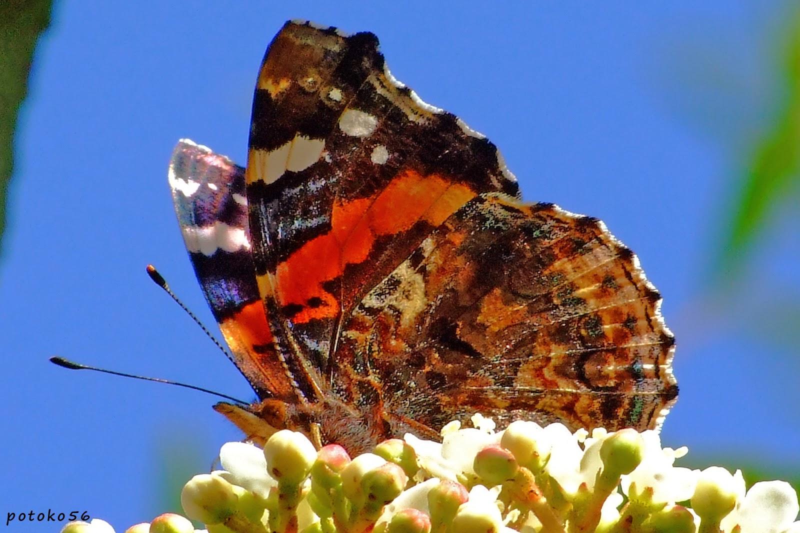 mariposas en el campo de Rota