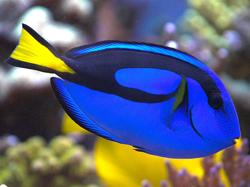 life of blue tang life of sea