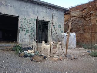 Αποκάλυψη:Αυτοσχέδιο Κυνοτροφείο Στις Ερυθρές Αττικής