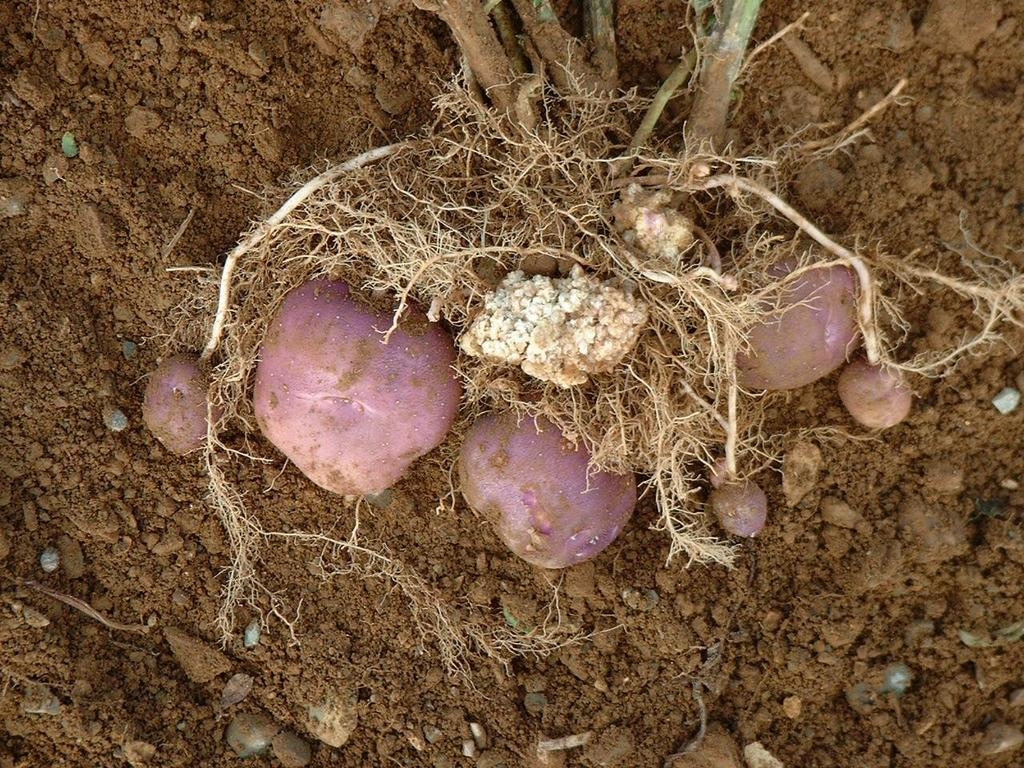 fungal diseases This page provides an overview of the fungal diseases in vegetable crops the related tools listed at the end of the page provided detailed information about identification, symptoms, and management of fungal diseases.