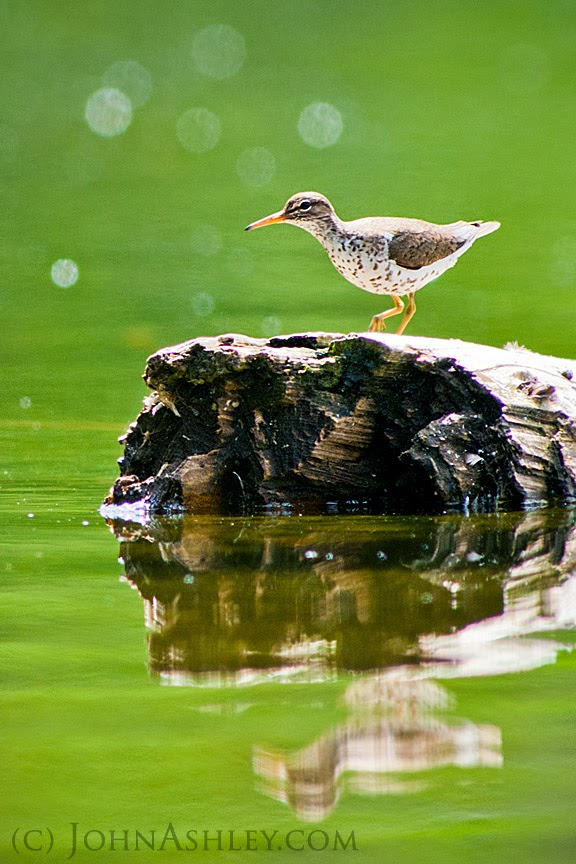 Spotted Sandpiper (c) John Ashley