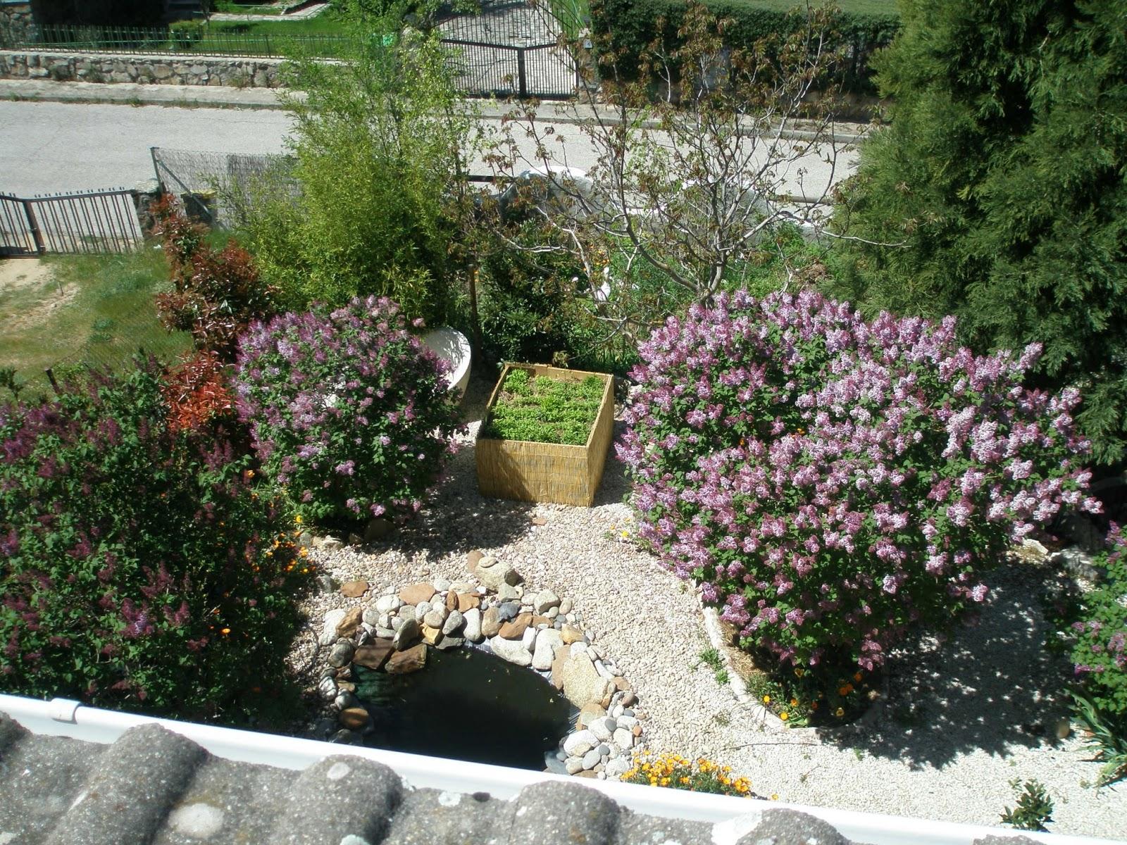 la rocaya junto a la escalera de entrada bajo la secuoya muestra las matas de iberis de un blanco radiante junto a aromticas como organo y