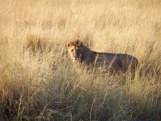 inspiration, taupe, blend, lion, lioness, africa, ngorongoro crater