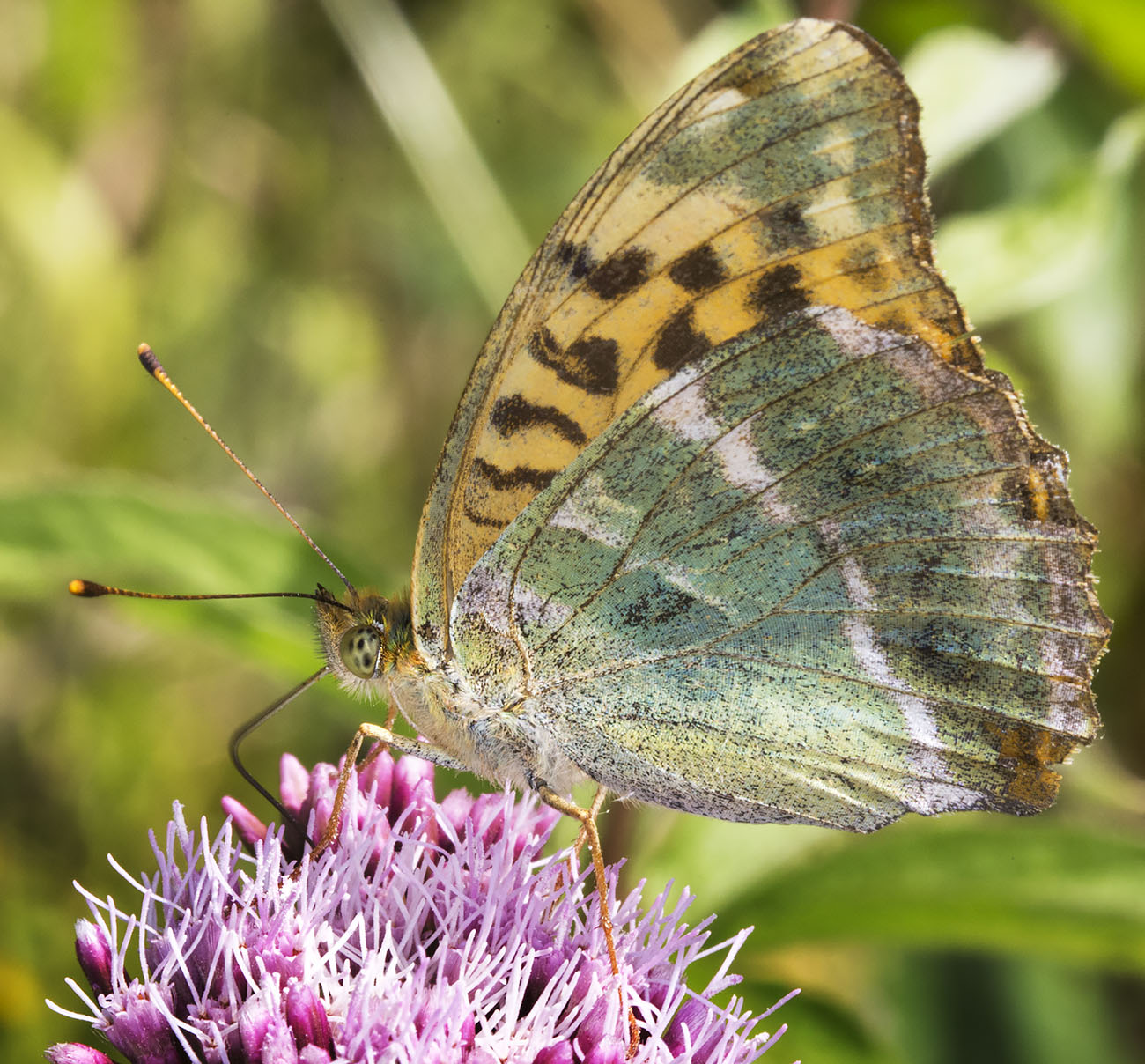 Silver-washed Fritillary, Argynnis paphia.  Nymphalidae.   High Elms Country Park, 4 August 2014.