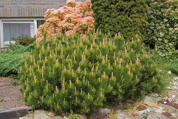 Arte y jardiner a pinos rboles longevos - Arbustos enanos para jardin ...