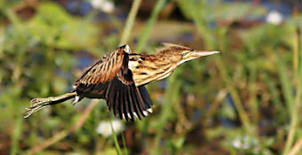 Australian Little Bittern