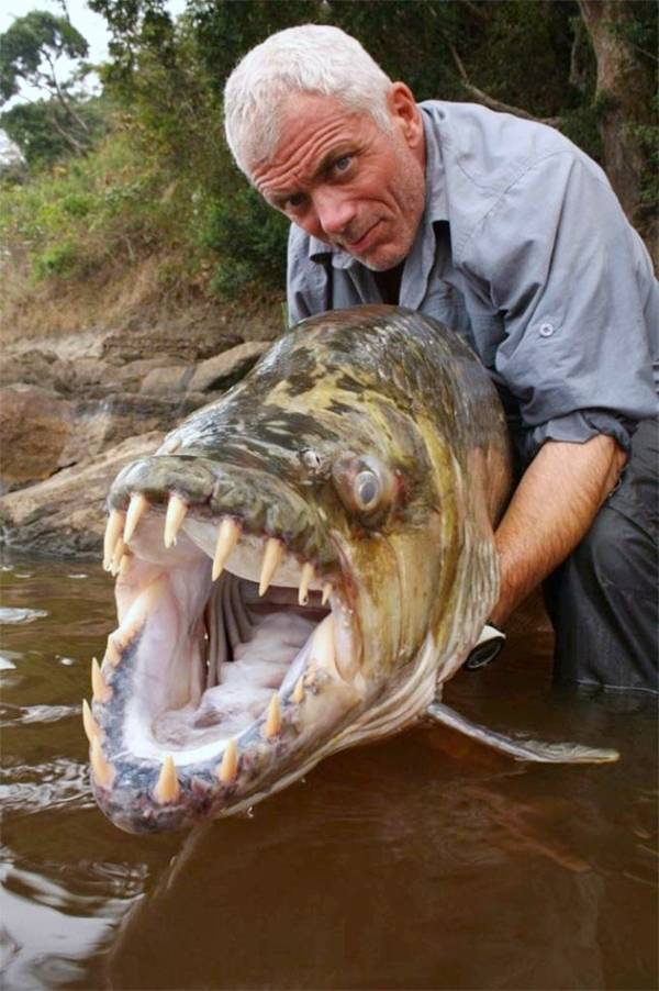 Goliath tiger fish water monster from africa ritemail for Fish representative species