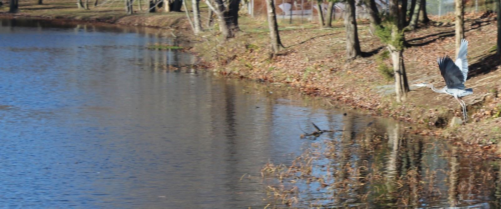 Lake Fairfax Great Blue Heron
