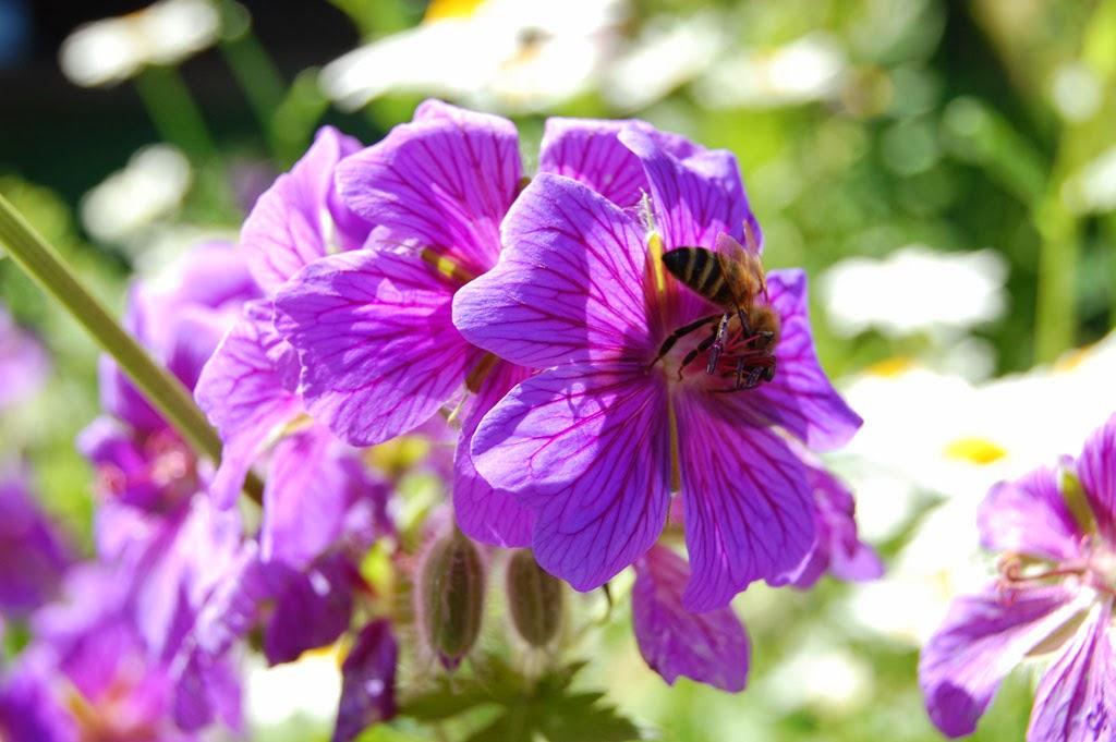 Biene an lila Blume