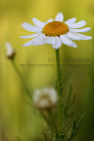 photo macro nature marguerite