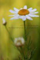 photo macro nature marguerite