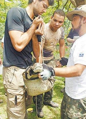 Aluno aprende a como capturar o réptil no curso promovido pelo Instituto Jacaré, que atua na pesquisa e preservação desses animais no Rio Foto:  Divulgação