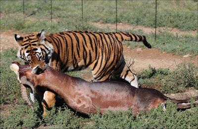 Kaplanlar Hayvanlar Son Görüntüler 2.013 Yeme
