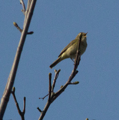 Chiffchaff, Phylloscopus collybita.  Bird walk in Jubilee Country Park, 24 March 2012.