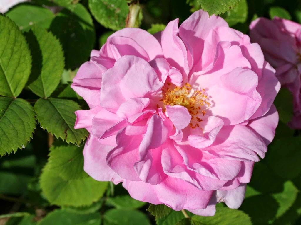 Arte y jardiner a rosales damascos for Jardineria rosales