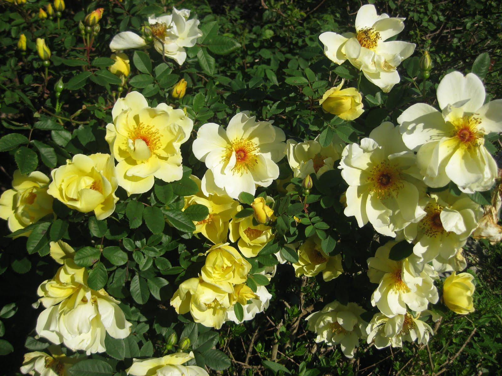 coral dawn rose